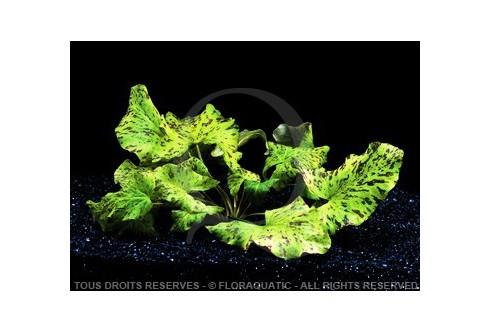 Nymphaea Lotus Zenkeri - Tigre Vert