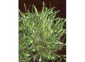 Ranunculus Limosella