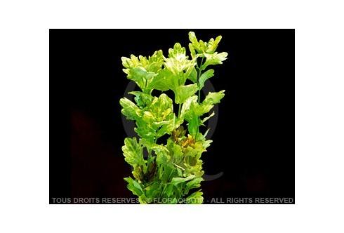 Shinnersia Rivularis Blanc Vert