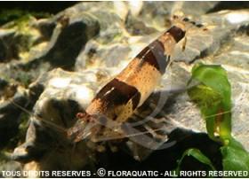 Caridina breviata - Hummel / Bumble Bee (Sauvage)