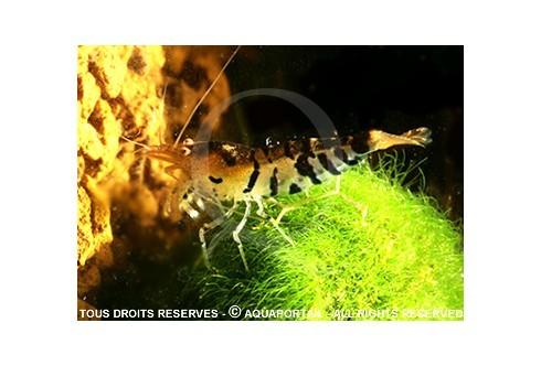 Caridina cf. cantonensis - Tiger Black