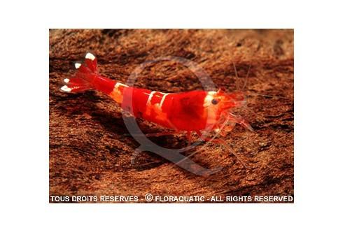 Caridina cf. cantonensis - Red Crystal CRS Grade B/C