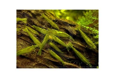 Caridina cf.babaulti - Babaulti green