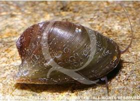 Neripteron auriculata - Batman snail