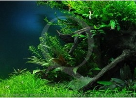 L'arbre royal (140L) by Tropica