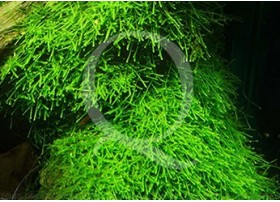 Vesicularia Dubyana (Mousse de Java)