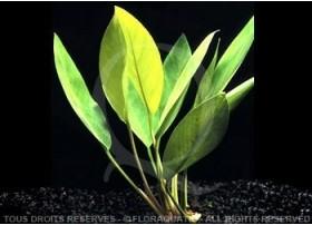 """Anubias Heterophylla """"Lanceolata"""" Présentation de la plante-Non fixée sur support Taille de la plante-Normale (Pot de 5 cm)"""