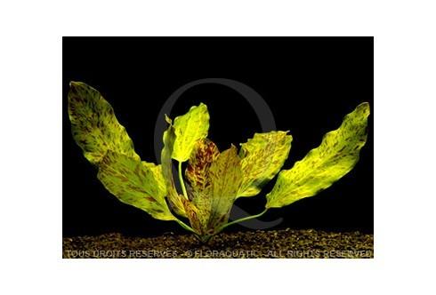 Echinodorus Ocelot Verte