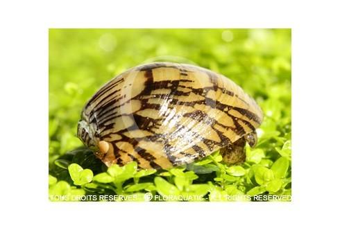 Septaria porcellana - Abalone snail