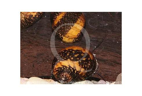 Neritina sp. Batik snail