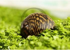 Neritina leopardi