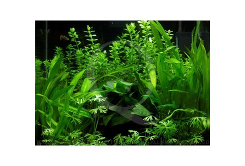 Green Serenity Layout 30 (27L) by Tropica