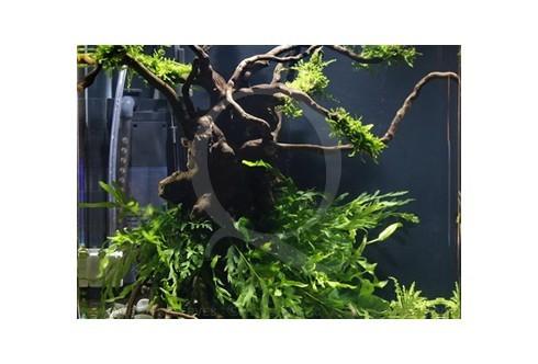 L'arbre de Mangrove Layout 29 (30L)
