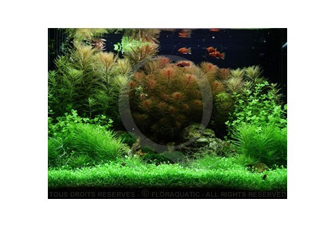 Layout 51 (100L) by Tropica