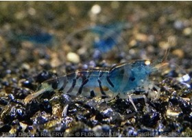 Caridina cf. cantonensis - Tiger Blue Orange Eyes