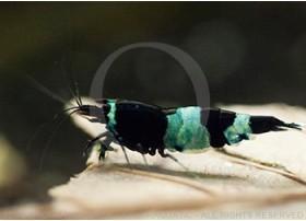 Caridina cf. cantonensis - Taiwan Bee Blue Panda