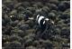 Caridina cf. cantonensis - Pinto Bee F1