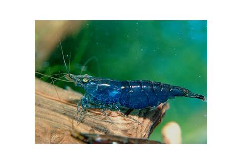Neocaridina heteropoda - Blue Fire