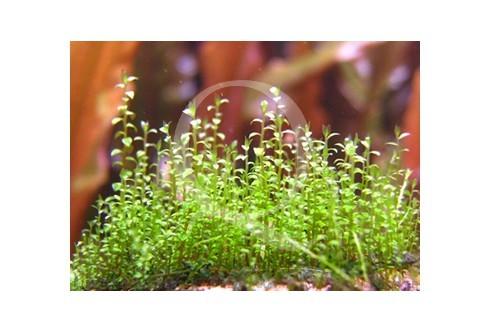 Amblystegium serpens - Nano Moss