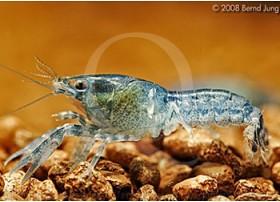 Cambarellus (Pandicambarus) Diminutus