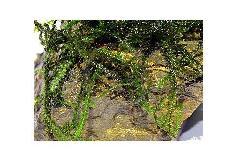 Amblystegium sp. - Brazil Moss