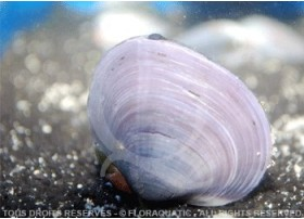 Uniandra Contradens sp. Blue