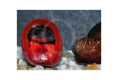 Neripteron violacea - Red Lips Snails