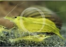 Neocaridina heteropoda - Yellow Grade B