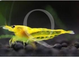 Caridina cf. serrata - King Kong Yellow