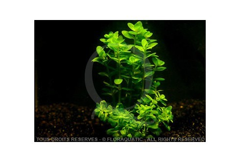 FloraVitro - Ammannia sp bonzaï