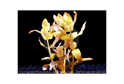 Plante in vitro - Ammannia Senegalensis
