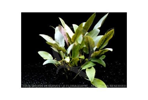 FloraVitro - Cryptocoryne Becketii