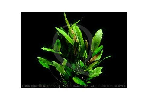 Plante in vitro - Cryptocoryne Walkeri