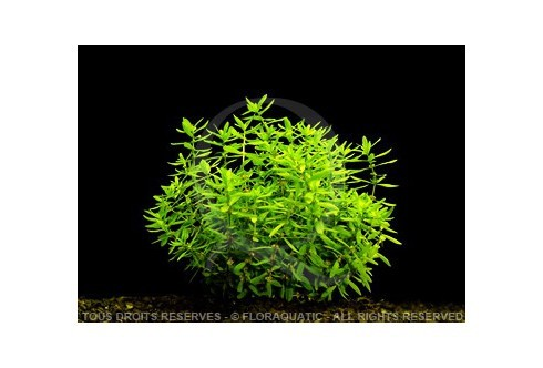 FloraVitro - Didiplis Diandra