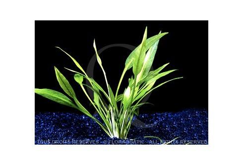 Plante in vitro - Echinodorus Quadricostatus var Magdalenensis