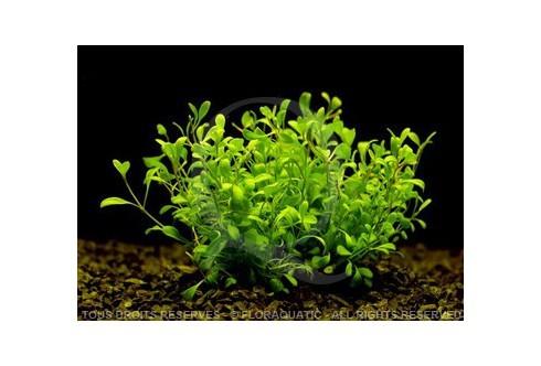 FloraVitro - Glossostigma Elatinoides