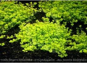 Plante in vitro - Hemianthus Callitrichoides Cuba