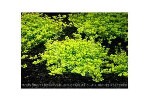FloraVitro - Hemianthus Callitrichoides Cuba