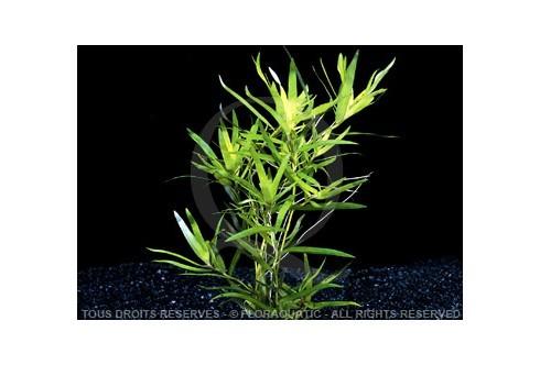 Plante in vitro - Heteranthera Zosterifolia