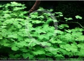 Plante in vitro - Hydrocotyle Tripartita