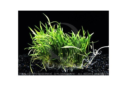 Plante in vitro - Lilaeopsis Novae Zelandiae
