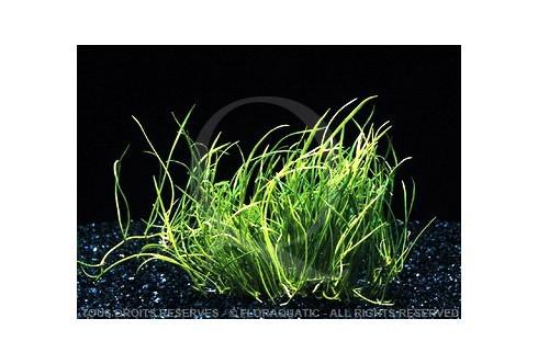 Plante in vitro - Lilaeopsis Mauritiana