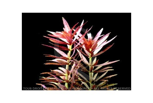 FloraVitro - Limnophilia Aromatica