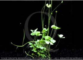 Plante in vitro - Marsilea Hirsuta