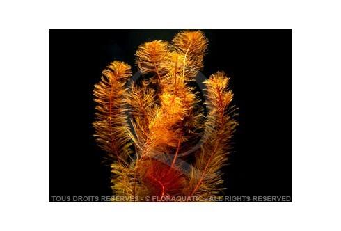 FloraVitro - Myriophyllum Mattogrossense