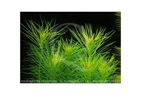 FloraVitro - Pogostemon erectus