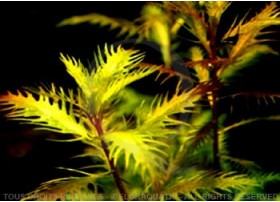 Plante in vitro - Proserpinaca Palustris Cuba