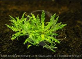 Plante in vitro - Pogostemon Helferi