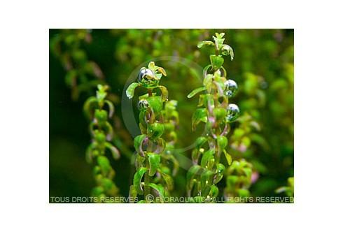 Plante in vitro - Rotala sp pearl