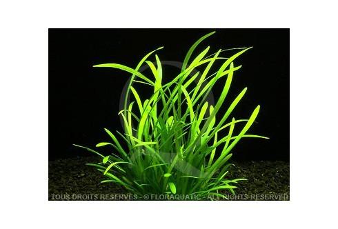 Plante in vitro - Sagittaria Subulata